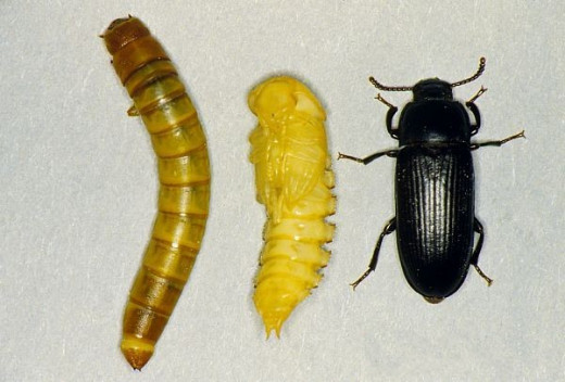 Mealworm in all three stages of life.