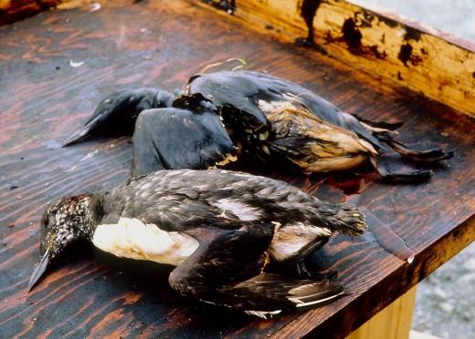 Birds Killed Due to the Exxon Valdez Oil Spil