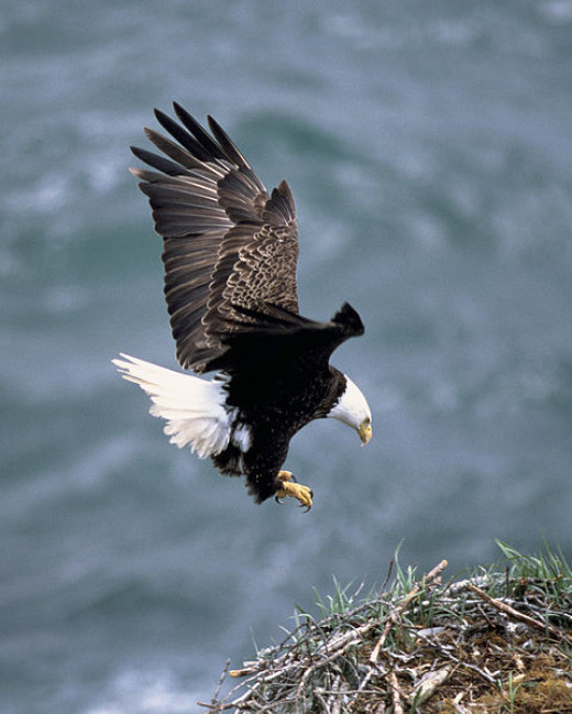 American Bald Eagle, US Fish and Wildlife Dept.