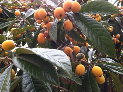 Loquats in golden bunches.