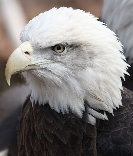 Bald Eagle Head shot