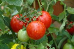 Tips on How to Grow Tomatoes