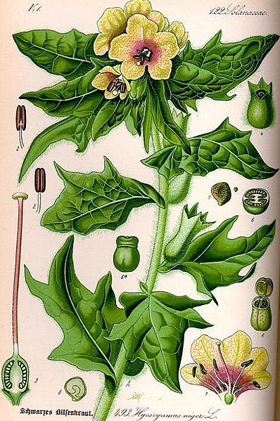 "Illustration of Henbane...a ""toxic"" herb used in flying ointments."