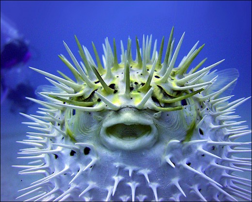 The Puffer Fish, one of the most venomous creatures on the planet.