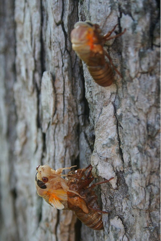 These cicadas are molting