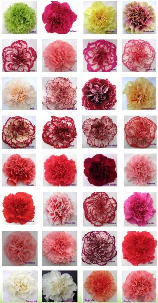 Different Coloured Carnations