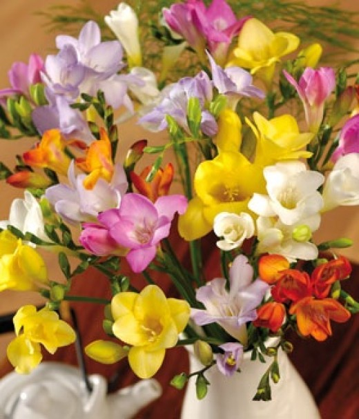 Different Coloured Freesia