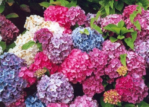 Different Coloured Hydrangeas