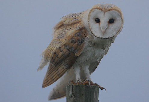 This is a photo of a barn owl. (See capsule 'Which bird is which?')
