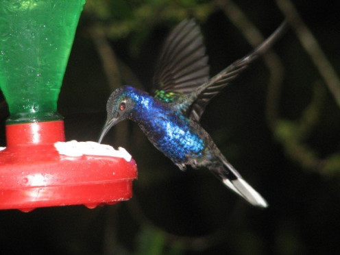 Hummingbird at hummingbird feeder in Costa Rica  (See capsule 'Supplies/Tools that you will need gradually.')
