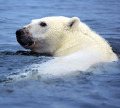 Interesting Facts About The Polar Bear