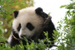 Amazing Panda Bears!
