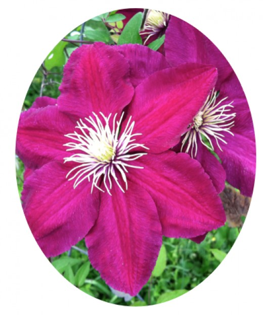 Motivation for a short story can take us unexpected places, like a clematis vine clambering upward, reaching out to the sun in any direction that offers a grip.