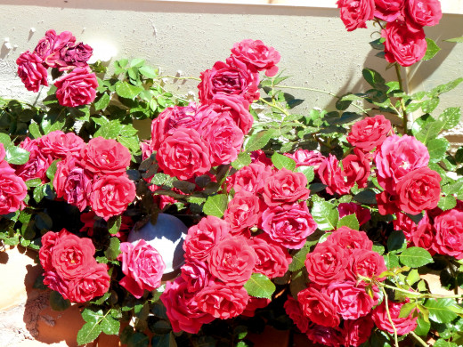 Roses captured with the Fujifilm SL1000