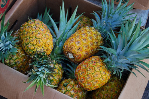 Pineapples were grown successfully on small plantations in Jensen Beach until fires and cold snaps damaged crops. Fishing replaced the pineapple trade as a major industry.