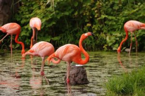 South Florida flamingos are a national treasure at Hialeah.