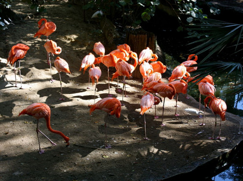 Florida Flamingos. Many are found at Hialeah Park.