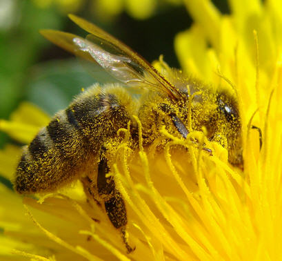 This bee has bathing in pollen.