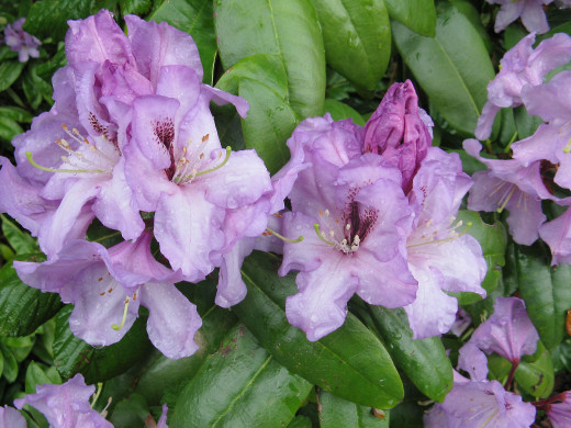 A rhododendron in the rain