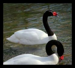 Photo Series-a Swan