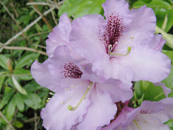 Rhododendrons - Photos, Facts and Care Tips