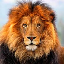 The astrological sign Leo is symbolized by the lion.The lion is a supreme & confident animal that has presence. This aptly describes the human Leo.