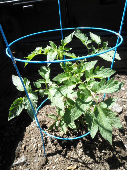 May 13 - just a week now and the tomato plant has almost doubled in size. It looks like the tomato plant loves the compost.