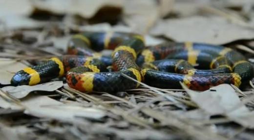 Venomous Texas Coral Snake