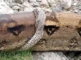 Snake shed skin