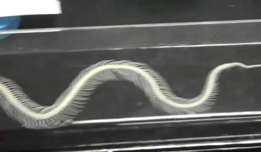 Venomous snake skeleton