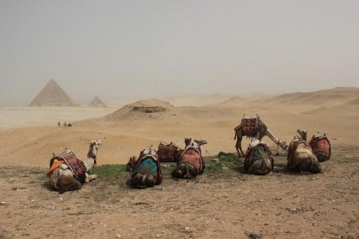 Camels near Giza Pyramids Copyright REKongaika