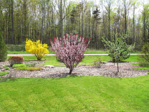 PURPLE LEAF SAND CHERRY AND FORSYTHIA SPRING BLOOMING