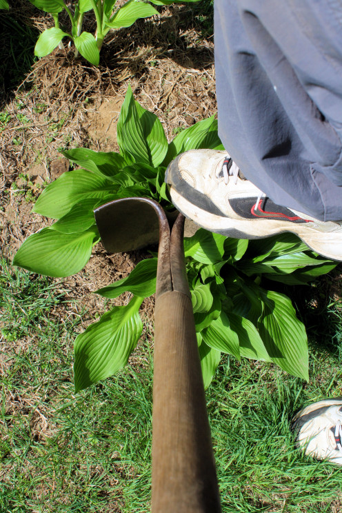 Splitting a Hosta With a Shovel.