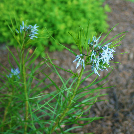 Amsonia hubrichtii was named the 2011 Perennial Plant of the Year by the Perennial Plant Association.