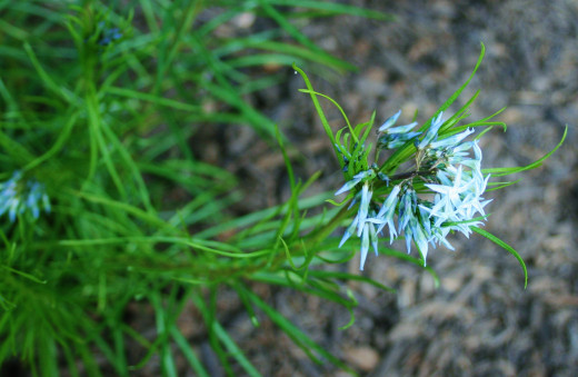Amsonia is drought tolerant. Except when we first planted it, we have never watered ours, even at the height of summer.