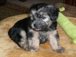 Marley the Morkie again at her new home for the first time