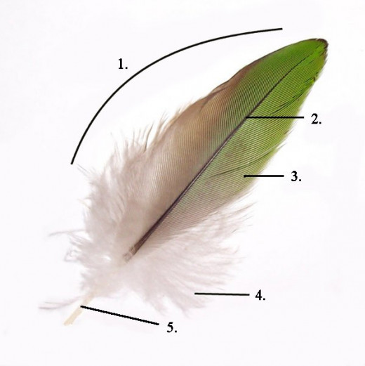 A picture showing the structure of a feather: 1. Vane 2. Rachis 3. Barb 4. Afterfeather 5. Hollow shaft, calamus