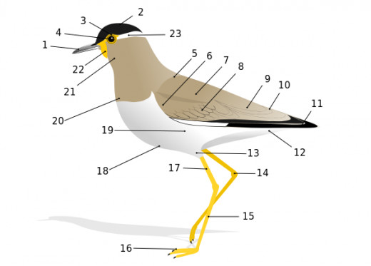 The external anatomy of a bird, including the types of feathers: 5. Mantle, 6. Lesser Coverts, 7. Scapulars, 8. Coverts, 9. Tertials, 11. Primaries.