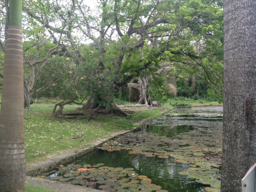 Two very old and quite beautiful trees overhanging the pond at Codrington college