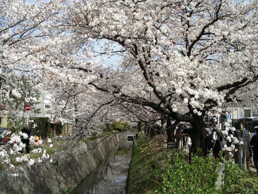 Cherry blossoms in bloom by Tetsugaku no Michi