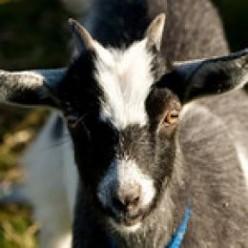 What Burns My Goat PT XVIII
