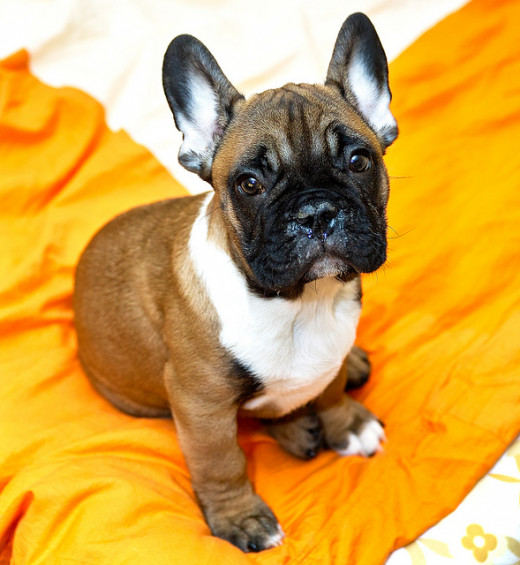 French Bulldogs come in many colors. All of them are cute.