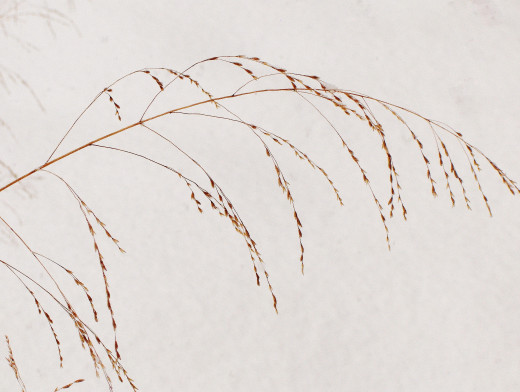 FROND OF NATIVE GRASS