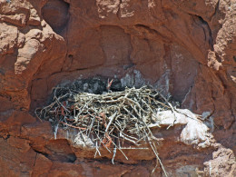 Baby Ravens, with big beaks and sleepy eyes