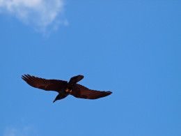 Mama flying overhead to check out the photographer