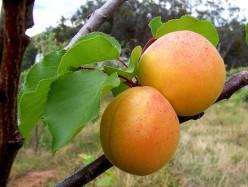 Health Benefits Apricots - Nutrition Summary, Culinary Uses, Recipes