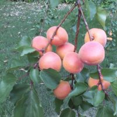 Our Apricot Tree
