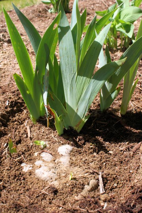 Iris Rhizome Planted.