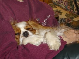 Cavalier King Charles spaniels are affectionate.