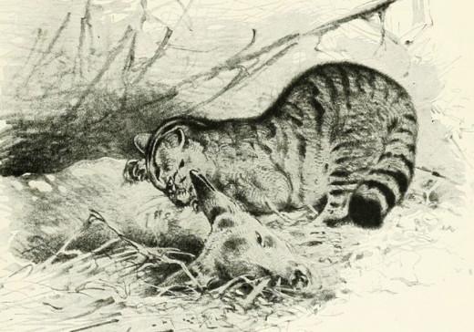 Sketch of a European wildcat killing a deer fawn, by Richard Lydekker